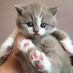 lilac bicolour British Shorthair kittens for sale