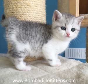 unusual British Shorthair kittens