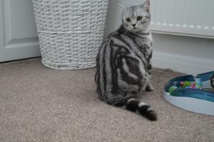 British Shorthair colours classic silver tabby