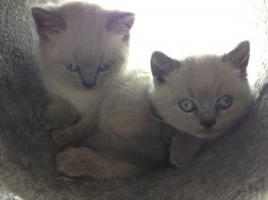Blue colourpoint british shorthair kittens
