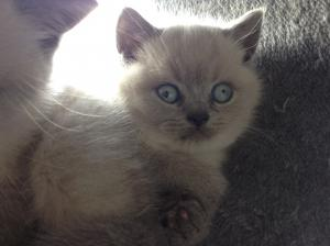 Blue colourpoint british shorthair kitten