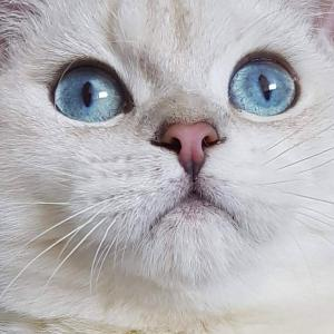 colourpoint British Shorthair cat blue eyes