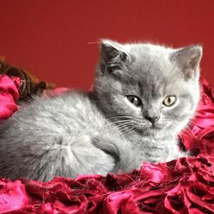 Blue British Shorthair kitten for sale