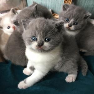 British Shorthair kittens for sale