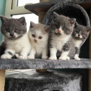 Blue eyed cats British Shorthair kittens for sale