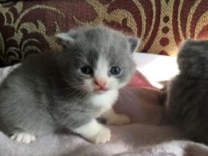 Blue Bicolour British Shorthair kittens for sale