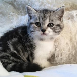 silver tabby bicolour British Shorthair