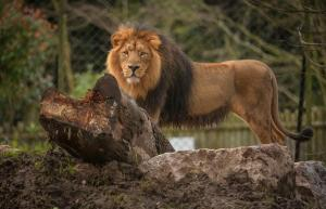 Asiatic Lion Iblis at Chester Zoo
