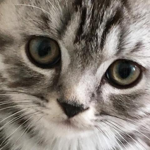 silver tabby British Shorthair kittens for sale