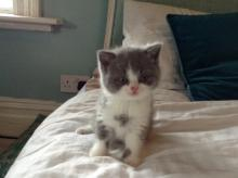 Blue british shorthair bicolour kitten on bed