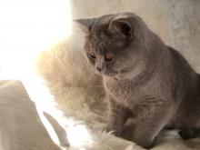 Lilac british shorthair cat