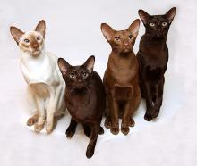 Cinnamon, Chocolate and Fawn cats cinnamon British Shorthair