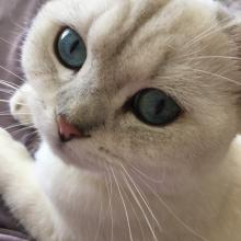 Blue eyed cats British Shorthairs for sale