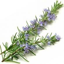 Herbs for cats rosemary