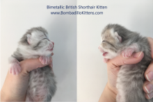 Bimetallic British Shorthair kittens for sale