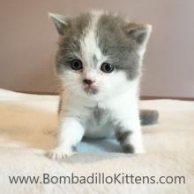 high white british shorthair kittens for sale